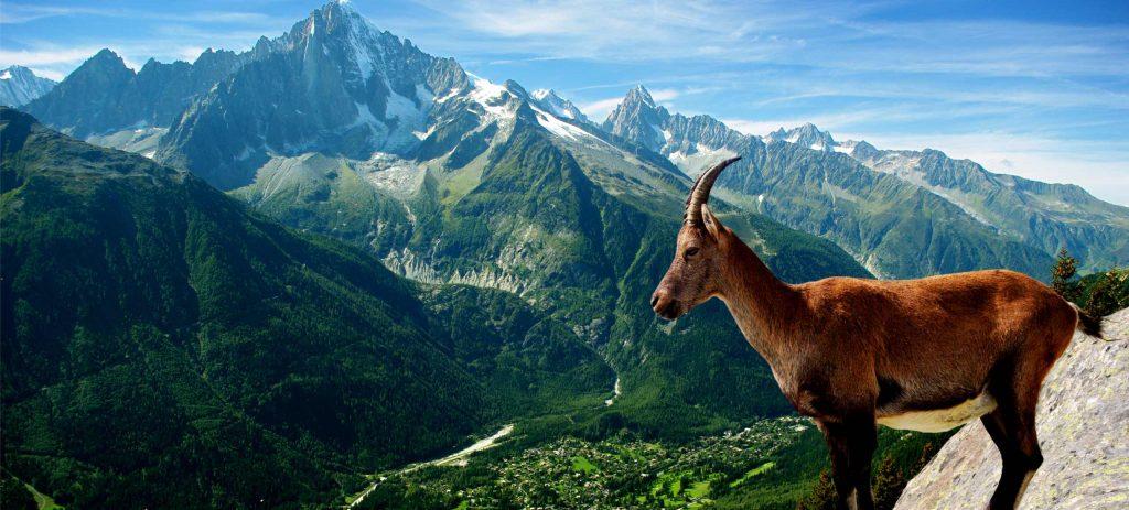 chevre-montagne-rhone-alpes