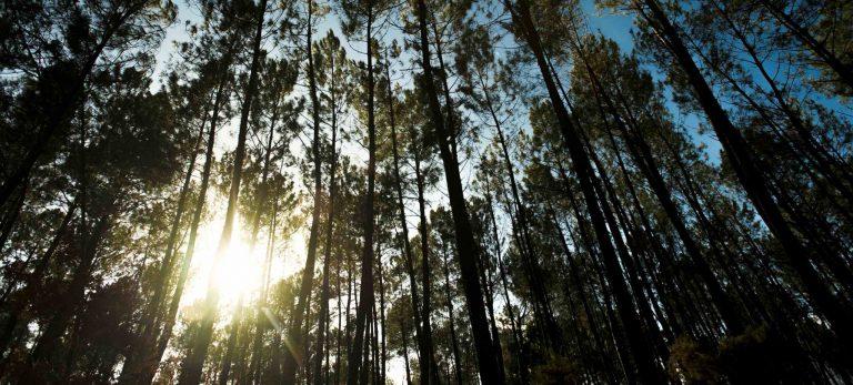 <strong>Les pins des Landes</strong>